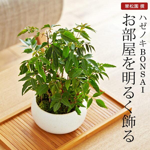 ハゼノキ 盆栽(ミニ盆栽 bonsai ボンサイ) 翠松園 撰【包装不可・のし不可 ご了承ください。】/ギフト お祝い 内祝い お礼 お返し 誕生日 快気祝い【楽ギフ_