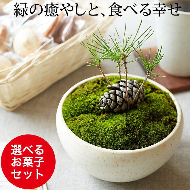 敬老の日 ギフト まつぼっくり 盆栽(ミニ盆栽 bonsai ボンサイ) 翠松園 撰【包装不可・のし不可 ご了承ください。】/ギフト お祝い 内祝い お礼 お返し 誕生日 快気祝い