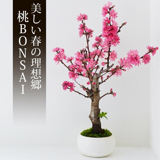桃 盆栽(ミニ盆栽 bonsai ボンサイ) 翠松園 撰【包装不可・のし不可 ご了承ください。】/ギフト お祝い 内祝い お礼 お返し 誕生日 快気祝い