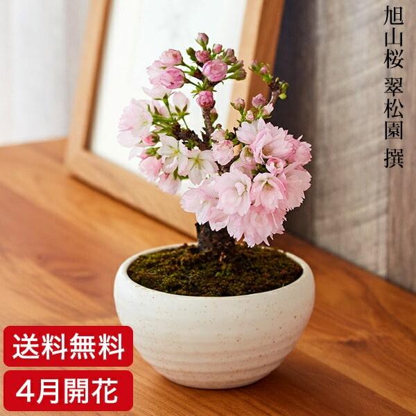 (桜盆栽)旭山桜 盆栽(送料無料)(桜 盆栽 bonsai ボンサイ さくら ミニ盆栽 桜盆栽 お祝い エア花見) 翠松園 撰【開花時期は3月末から4月頃となります。】【包装不可・のし不可 ご了承ください。】【楽ギフ_