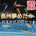 【送料無料】 長州夢めだか おまかせ20匹セット 成魚 Mサイズ