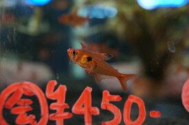 【淡水魚】レッドファントムルブラ【10匹】(生体)【小型カラシン】(熱帯魚)NKIK