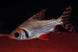 【熱帯魚】【小型カラシン】【1匹】カラープロキロダス(ワイルド) ±10cm(F)(カラシン)(生体)(淡水)