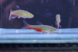 【淡水魚】[お取り寄せ]グリーンファイヤーテトラ【10匹】(生体)【カラシン】(熱帯魚)NKIK20191021