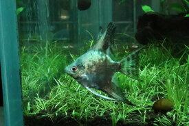 【淡水魚】今回特価 アバターブルーエンゼル【1匹】(エンゼルフィッシュ)(生体)(淡水)NK