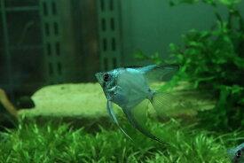 【淡水魚】レア種 グリーンジャイアントエンゼル【1匹】(メダカ科)(生体)(熱帯魚)NK