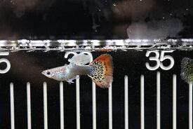 【熱帯魚】【サンプル画像 1ペア】国産 ゴラゴンタキシードグッピー(グッピー)(生体)(淡水)