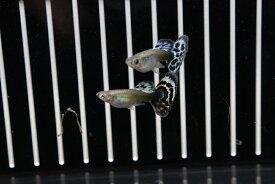 【熱帯魚】【サンプル画像 1ペア】国産 プラチナモザイクグッピー(グッピー)(生体)(淡水)