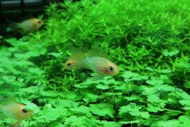 【淡水魚】レア種 ショートボディ ゴールデンラミレジィ ロングフィン【1匹】(ラミレジィ)(生体)(熱帯魚)NK