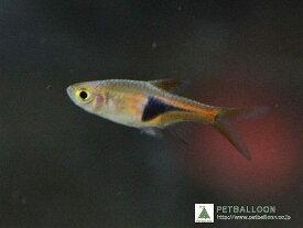 【淡水魚】お取り寄せ ラスボラ・ヘテロモルファ【10匹】(生体)【コイ科】(熱帯魚)20191019