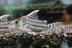 【熱帯魚】【コリドラス】【1匹】コリドラス スーパープルケール ワイルド ±7.5cm(コリドラス)(生体)(淡水)