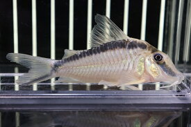 【熱帯魚】【コリドラス】【1匹】大きい コリドラス ナルキッスス ワイルド ±9cm(コリドラス)(生体)(淡水)