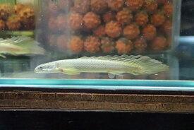 【淡水魚】レア種 ロングフィン ポリプテルス セネガルス(ドラゴンフィン)【1匹】(±8-10cm)(大型魚)(生体)(熱帯魚)NKO