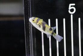 【熱帯魚】【フグ】【1匹】南米淡水フグ ペルー産 ワイルド【純淡水フグ】(生体)(淡水)