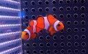【海水魚】カクレクマノミ Sサイズ (5匹)3-5cm前後(生体)(海水魚)(サンゴ)