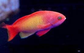 【海水魚】インドキンギョハナダイ(♂) (1匹)6-7cm前後(生体)(海水魚)(サンゴ)