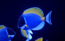 【海水魚】パウダーブルータン SMサイズ (1匹)6-8cm前後(生体)(海水魚)(サンゴ)