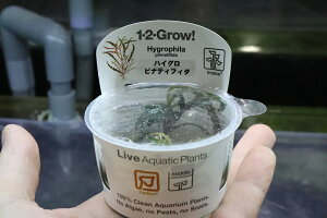 【水草】(組織培養)トロピカ社 ハイグロフィラ ピンナティフィダ(無農薬)【1カップ】(活着)