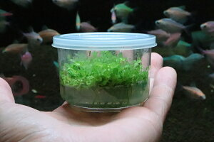 【水草】(組織培養)ニューラージパールグラス(無農薬)【1カップ】(前景草)20200710