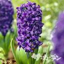 ■秋植え球根■ヒヤシンスピーターストイベサント紫色1球(バラ球)