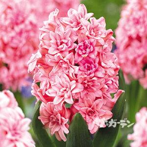 ■秋植え球根■八重咲きヒヤシンススプリングビューティー(八重ピンク)1球(バラ球)
