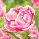 ■秋植え球根■2019年最新品種 チューリップヴォーグ 八重咲き5球入り