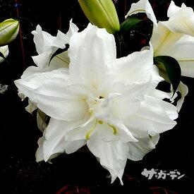 ■秋植え球根■オリエンタルリリー 八重咲き カサブランカホワイトアイズ1球入り