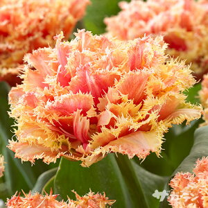 【ご予約商品♪ご予約区分A】■秋植え球根■NEW! チューリップ ブリスベン八重咲き5球入り