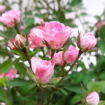 ■ミニバラ■四季咲きガーデンローズワンダーファイブ極小輪ばら10.5cmポット苗