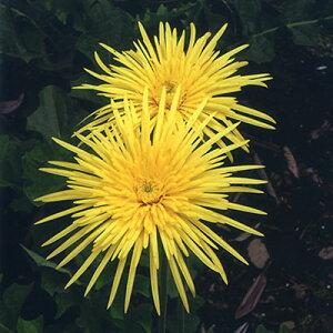 ■宿根草苗■クラシックガーベラ八重咲きビビットイエローダブル10.5cmポット苗