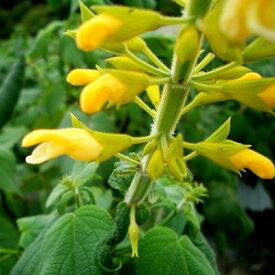 ■宿根草■サルビア マドレンシス10.5cmポット苗