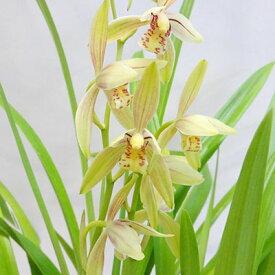 ■ラン・山野草■中国秋蘭香ります4〜4.5号プラ鉢植え