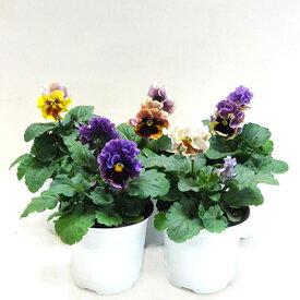 ■良品花壇苗■餅田さんのフリンジパンジーミュシャ10.5cmポット苗