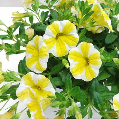 ■良品花壇苗■数量限定!秋山さんのカリブラコアスーパーベルレモンスライス12cmポット苗