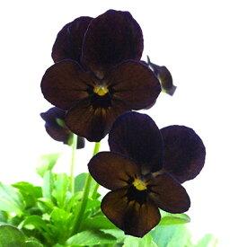 ■新鮮花壇苗■べっぴんさんビオラ夕香10.5cmポット苗