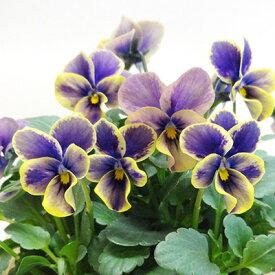 ■新鮮花壇苗■べっぴんさんビオラ夢紡10.5cmポット苗