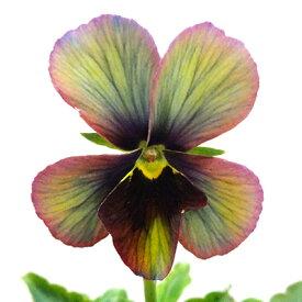 ■新鮮花壇苗■べっぴんさんパンジー幻夢10.5cmポット苗