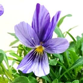 ■新鮮花壇苗■べっぴんさんビオラ流れ星10.5cmポット苗