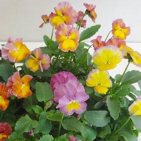 ■新鮮花壇苗■べっぴんさんパンジー パフューム10.5cmポット苗