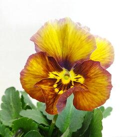 ■新鮮花壇苗■べっぴんさんパンジーブルーシャドウ10.5cmポット苗