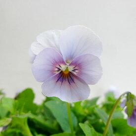 ■新鮮花壇苗■べっぴんさんビオラ新森の妖精10.5cmポット苗