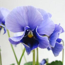 ■新鮮花壇苗■べっぴんさんパンジー湖蒼10.5cmポット苗