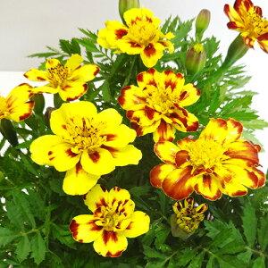 ■新鮮花壇苗■麓ファームさんのマリーゴールド クリームブリュレ10.5cmポット苗