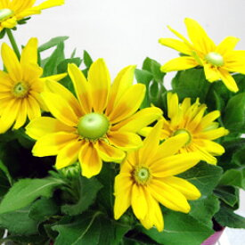 ■良品花壇苗■ルドベキア大輪 プレーリーサン10.5cmポット苗
