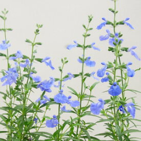 ■宿根草■宿根サルビア アズレア10.5cmポット苗