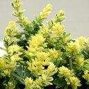■新鮮花壇苗■ふわふわかわいい!ロータス ブリムストーン3号ポット苗