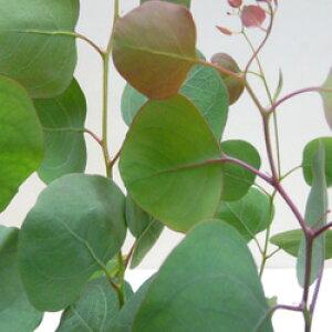■新鮮花壇苗■ユーカリ ポポラスポリアンセモス9〜10.5cmポット苗