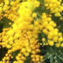 ■良品庭木苗■ミモザアカシア2.5cmポット苗