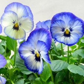 【ご予約商品♪ご予約区分B】■良品花壇苗■秋山さんのパンジーよく咲くスミレソーダ10.5cmポット苗