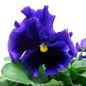 ■良品花壇苗■餅田さんの絵になるスミレマリーヌ10.5cmポット苗